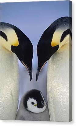 Emperor Penguin Family Canvas Print by Tui De Roy