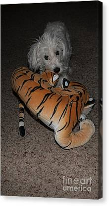 Endangered Tiger 2 Canvas Print by Anne Rodkin