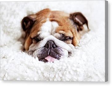 English Bulldog Sleeping In Fluffy White Blanket Canvas Print by Hanneke Vollbehr