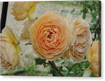 English Rose Apricot Crown Princess Margareta 2 Canvas Print by Robyn Stacey