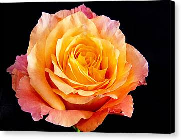 Enticing Beauty The Orange  Rose Canvas Print by Daphne Sampson