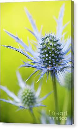 Eryngium X Oliverianum Flowering Canvas Print by Tim Gainey