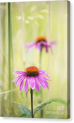 Essence Of Echinacea Canvas Print by Tim Gainey