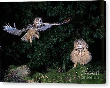 European Eagle Owl Bubo Bubo Canvas Print by Gerard Lacz