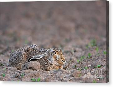 European Hare Canvas Print by Mathias Sch�f