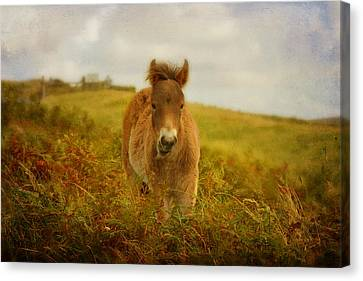 Exmoor Wild Pony Canvas Print by Carla Parris