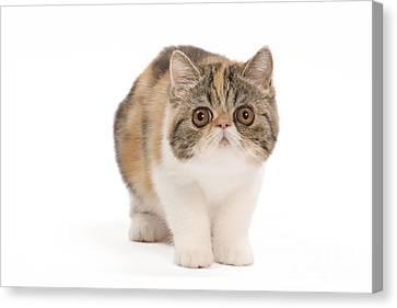 Exotic Shorthair Kitten Canvas Print by Jean-Michel Labat