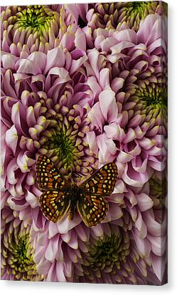 Extoic Butterfly On Mums Canvas Print by Garry Gay