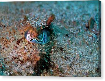 Eye Of A Common Cuttlefish Canvas Print by Sami Sarkis