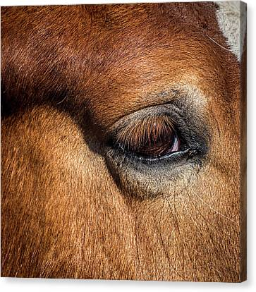 Eye Of The Horse Canvas Print by Paul Freidlund