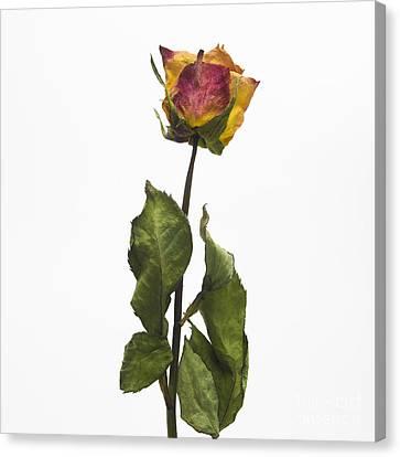 Faded Rose Flower Canvas Print by Bernard Jaubert