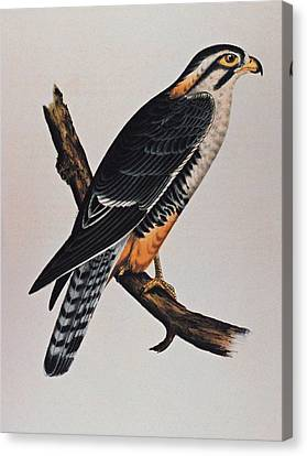 Falcon Aplomado Falcon Canvas Print by Movie Poster Prints