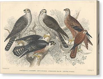 Falcons Canvas Print by Oliver Goldsmith