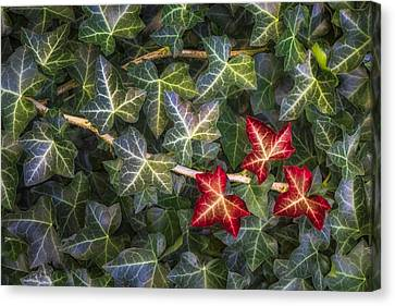 Fall Ivy Leaves Canvas Print by Adam Romanowicz