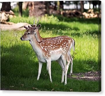 Fallow Deer In Richmond Park Canvas Print by Rona Black