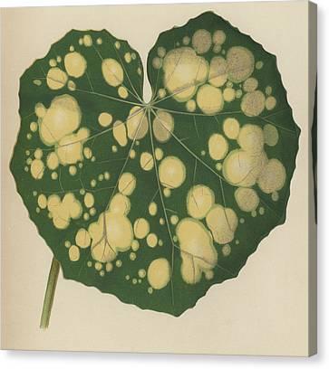 Farfugium Grande  Leopard Plant, Green Leopard Plant Canvas Print by English School