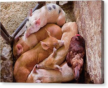 Farm - Pig - Five Little Piggies And A Chicken  Canvas Print by Mike Savad