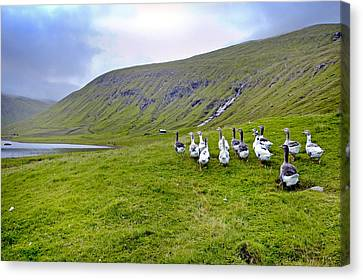 Faroes Geese Canvas Print by Robert Lacy