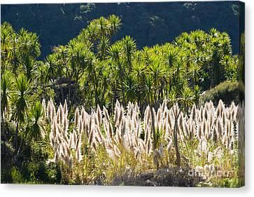 Feathery White Plants Canvas Print by Tomas del Amo - Printscapes