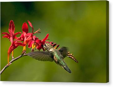 Feeding Hummer Canvas Print by Randall Ingalls