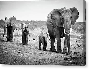 Female African Elephant Canvas Print by Cedric Favero