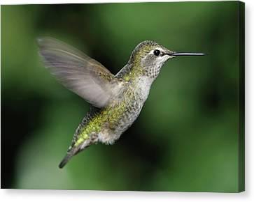 Female Anna's Hummingbird In Flight Canvas Print by Barbara Rich