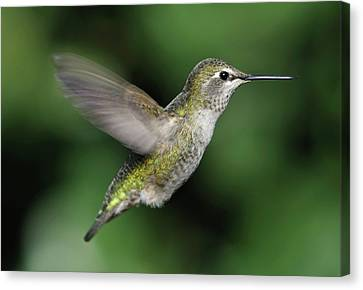 Female Anna's Hummingbird In Flight Canvas Print by Barbara Rich