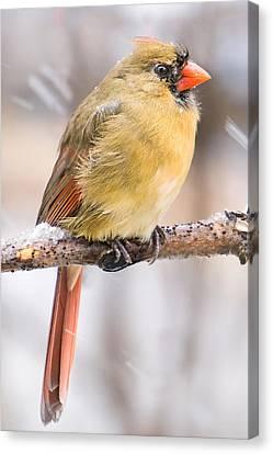 Female Cardinal In Winter Canvas Print by Jim Hughes