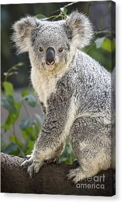 Female Koala Canvas Print by Jamie Pham