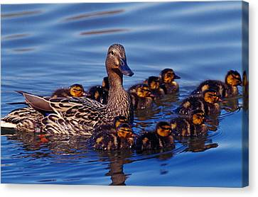 Female Mallard Duck With Chicks Canvas Print by Panoramic Images