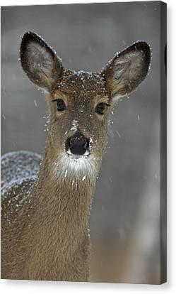Female White-tailed Deer, Odocoileus Canvas Print by John Cancalosi