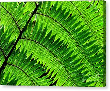 Fern In Afternoon Light Canvas Print by Ranjini Kandasamy