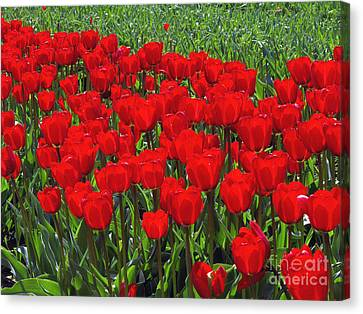 Field Of Red Tulips Canvas Print by Sharon Talson