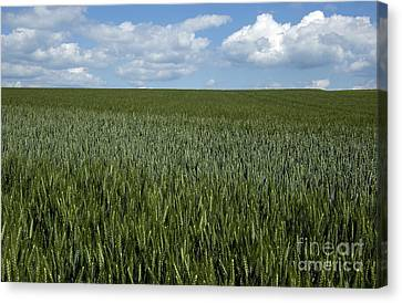 Field Of Wheat Canvas Print by Bernard Jaubert