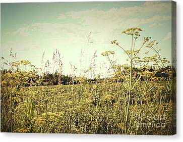 Field Of Wild Dill In The Afternoon Sun  Canvas Print by Sandra Cunningham