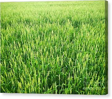 Fields Of Green Canvas Print by Glenn Gordon