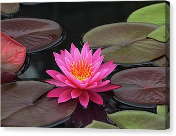 Fiery Beauty Of A Waterlily Canvas Print by Byron Varvarigos