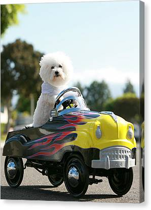 Fifi Goes For A Car Ride Canvas Print by Michael Ledray