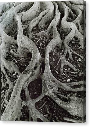 Fig Tree Roots Canvas Print by John Gilroy
