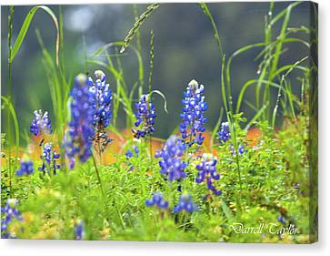 Fine Art America Pic 156 Think Spring Canvas Print by Darrell Taylor