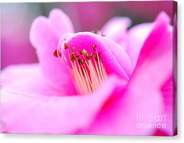 Fine Art- Pink Camellia Canvas Print by Phill Potter