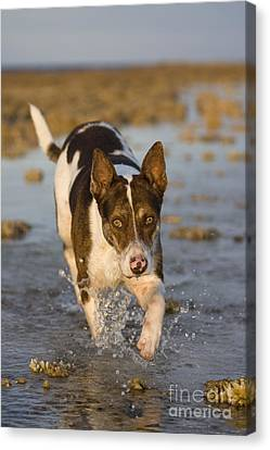 Fishing Dog Of Polynesia Canvas Print by Jean-Louis Klein & Marie-Luce Hubert
