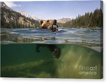 Fishing Grizzly Canvas Print by Jean-Louis Klein & Marie-Luce Hubert