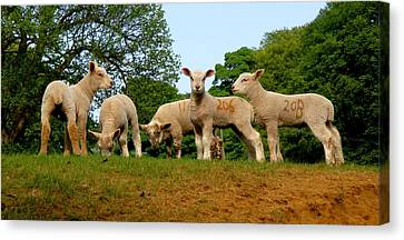 Countryside Canvas Print featuring the photograph Five Little Lambs by Roberto Alamino