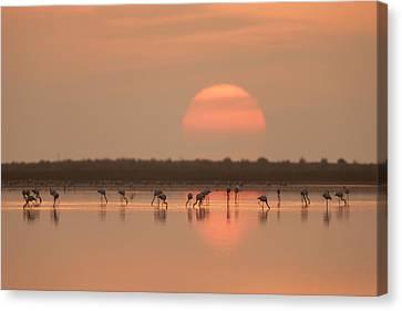 Flamingos At Sunrise Canvas Print by Joan Gil Raga