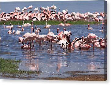 Flamingos, Lake Nakuru, Kenya Canvas Print by Aidan Moran