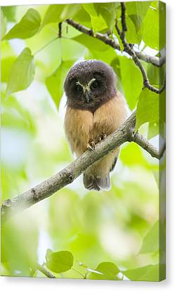 Fledgling Saw Whet Owl Photograph By Tim Grams