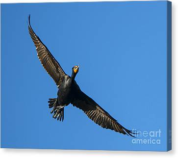 Flight Of The Comorant Canvas Print by Mike Dawson