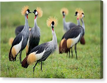 Flock Of Grey Crowned Cranes Balearica Canvas Print by Panoramic Images