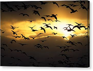 Flock Of Silhouetted Snow Geese Canvas Print by Panoramic Images